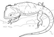 Bearded Dragon Coloring Page Bearded Dragon Coloring Page