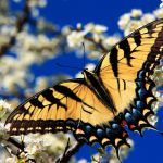 Butterfly Identification Guide by Color butterfly Identification Guide by Color