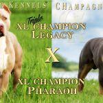 Champagne Tri Color Pitbull Puppies for Sale Champagne Tri Color Pitbull Puppies for Sale