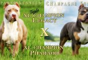 Champagne Tri Color Pitbull Puppies for Sale Champagne Tri Color Pitbull Puppies for Sale