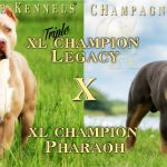 Chocolate Tri Color Pitbull Puppies for Sale Chocolate Tri Color Pitbull Puppies for Sale
