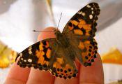 Cream Colored butterfly Cream Colored butterfly