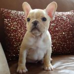 Cream Colored French Bulldog Puppies for Sale Cream Colored French Bulldog Puppies for Sale