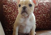 Cream Colored French Bulldog Puppies for Sale Cream Colored French Bulldog Puppies for Sale