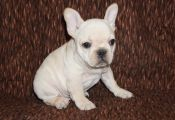 Cream Colored French Bulldog Puppies Cream Colored French Bulldog Puppies