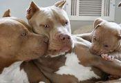 Cream Colored Pitbull Puppies Cream Colored Pitbull Puppies