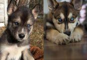 Do Husky Puppies Fur Change Color Do Husky Puppies Fur Change Color