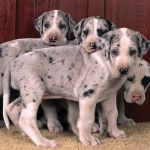 Fawn Colored Great Dane Puppies Fawn Colored Great Dane Puppies