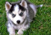 Husky Puppy with Different Colored Eyes Husky Puppy with Different Colored Eyes