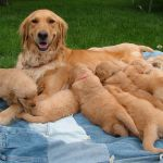 Light Colored Golden Retriever Puppies Light Colored Golden Retriever Puppies