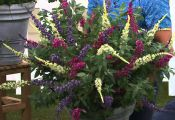 Multi Color butterfly Bush Multi Color butterfly Bush
