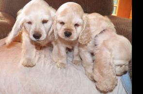 Parti Colored Cocker Spaniel Puppies for Sale Parti Colored Cocker Spaniel Puppies for Sale