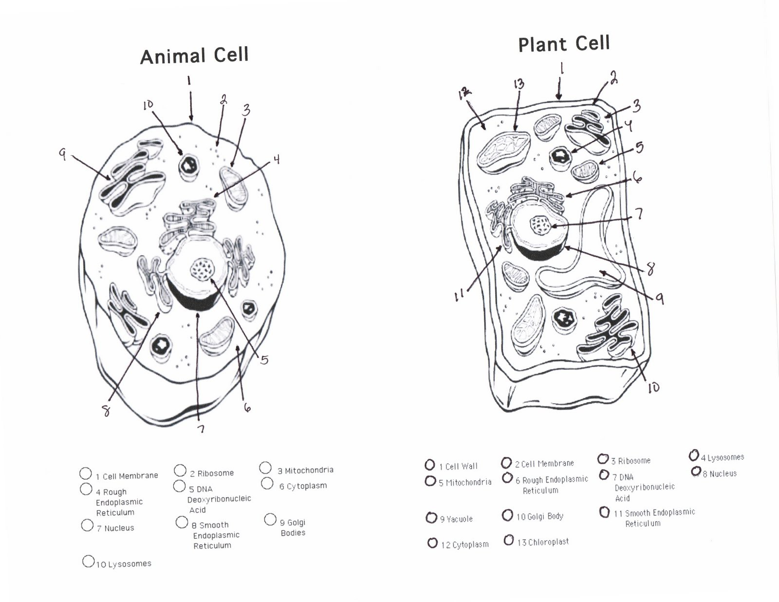 Plant and Animal Cell Coloring Worksheets Answer Key Plant and Animal Cell Coloring Worksheets Answer Key