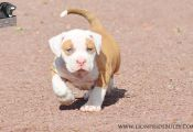 Tri Color American Bully Puppies for Sale Tri Color American Bully Puppies for Sale
