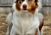 Tri Color Australian Shepherd Puppy Tri Color Australian Shepherd Puppy