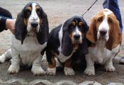 Tri Color Basset Hound Puppies for Sale Tri Color Basset Hound Puppies for Sale