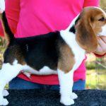 Tri Color Beagle Puppies Tri Color Beagle Puppies
