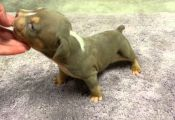 Tri Color Bully Puppies for Sale Tri Color Bully Puppies for Sale