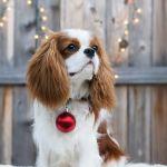 Tri Color Cavalier King Charles Spaniel Puppy Tri Color Cavalier King Charles Spaniel Puppy