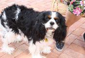 Tri Color Cavalier Puppies Tri Color Cavalier Puppies