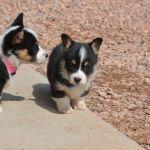 Tri Color Corgi Puppies for Sale Tri Color Corgi Puppies for Sale