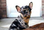 Tri Color French Bulldog Puppies for Sale Tri Color French Bulldog Puppies for Sale