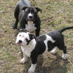 Tri Color Pitbull Puppies for Sale In Alabama Tri Color Pitbull Puppies for Sale In Alabama