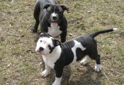 Tri Color Pitbull Puppies for Sale In Alabama Tri Color Pitbull Puppies for Sale In Alabama
