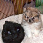 Tri Color Pomeranian Puppies Tri Color Pomeranian Puppies
