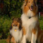 Tri Color Sheltie Puppies for Sale Tri Color Sheltie Puppies for Sale