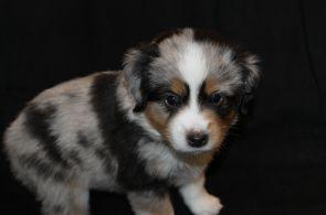 Tri Colored Aussie Puppies for Sale Tri Colored Aussie Puppies for Sale