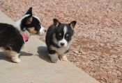 Tri Colored Corgi Puppies for Sale Tri Colored Corgi Puppies for Sale