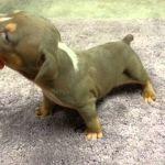 Tri Colored Pitbull Puppies Tri Colored Pitbull Puppies