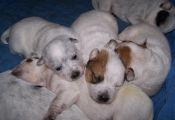 What Color are Blue Heeler Puppies when they are Born What Color are Blue Heeler Puppies when they are Born
