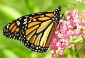 What Color are Monarch butterflies What Color are Monarch butterflies
