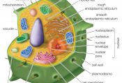 What Color is the Outside Of An Animal Cell What Color is the Outside Of An Animal Cell