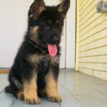 What Color Will My German Shepherd Puppy Be What Color Will My German Shepherd Puppy Be