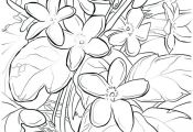 Mayflower Coloring Sheet Or Trailing Arbutus Flowers Pages Thanksgiving  Arbutus...
